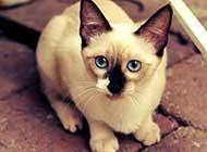 貴氣孤傲的暹羅貓生活寫真照片