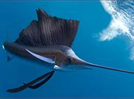 飛速游行的絲綢旗魚圖片