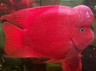 火紅的大血鸚鵡魚圖片