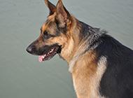 東北黑狼犬霸氣側臉抓拍圖片