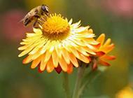 蜜蜂与花户外唯美高清写真图片