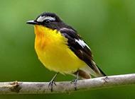 枝头鸣叫的南方黄鹂鸟图片