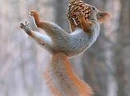 空中跳跃的松鼠摄影图片