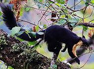 印度巨松鼠活蹦亂跳圖片