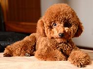 可爱呆萌纯种迷你泰迪犬图片