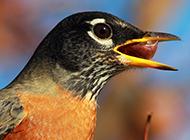 知更鳥吃東西的圖片欣賞
