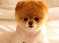 哈多利俊介犬图片高清壁纸