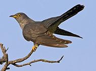 布谷鸟展翅高飞的图片