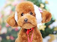 可愛調皮的玩具貴賓犬圖片