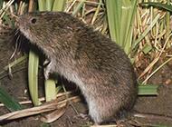 农田栖息的小田鼠图片