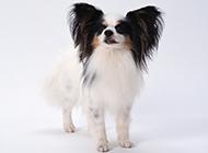 寵物狗蝴蝶犬高清圖片壁紙