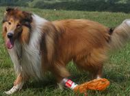 巨型蘇格蘭牧羊犬公園玩耍圖片
