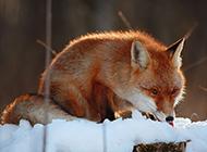 冰天雪地?#20889;?#33804;的狐狸动物图片
