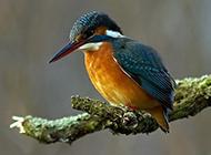 蓝翡翠鸟池塘捕食图片特写