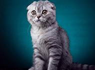 銀虎斑折耳貓圖片大全