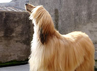 阿富汗獵犬精美圖片大全