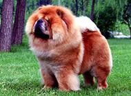 肉嘟嘟的狗松獅犬可愛圖片