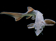 人工養殖的中華鱘魚圖片
