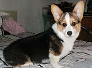 威爾士柯基犬可愛眼神圖片