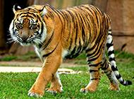 沉穩霸氣的森林野獸孟加拉虎圖片