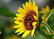 高清蜜蜂采蜜图片