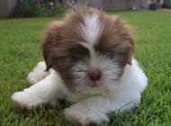 拉薩犬幼崽毛茸茸可愛模樣圖片