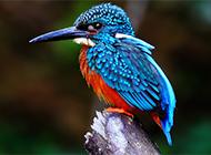 動物荊棘鳥圖片美麗鮮艷