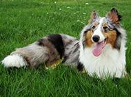外形漂亮的蘇格蘭牧羊犬圖片欣賞