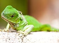色彩艷麗的冷血動物綠蜥蜴圖片