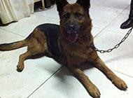苏联红犬忠诚图片