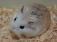 最可爱的宠物小仓鼠图片
