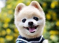 微笑的日本俊介犬图片