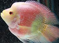 糖果鸚鵡魚圖片美美噠