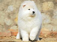 可愛的寵物狗薩摩耶犬圖片
