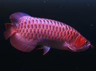 世界罕見的紅龍魚圖片高清壁紙