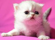 小波斯猫图片大全大图欣赏