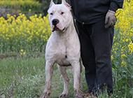 强壮有力的阿根廷杜高犬图片