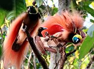 树枝上的印尼天堂鸟图片