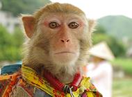 川金丝猴丛林摄影图片