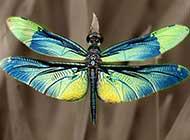 轻盈优雅的蜻蜓高清组图