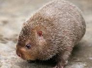 稀有的動物銀星竹鼠圖片