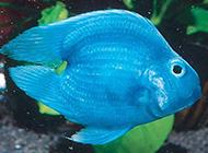 藍鸚鵡魚圖片漂亮迷人