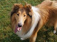 犬中明星美系蘇格蘭牧羊犬圖片