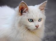 長毛藍眼白貓氣質高貴圖片