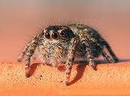视觉感官敏锐的小蜘蛛图片