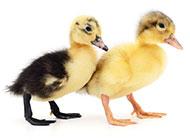 两只可爱的小鸭子图片