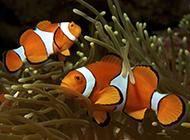 雙帶小丑魚深海暢游圖片
