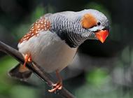枝头栖息的珍珠鸟图片