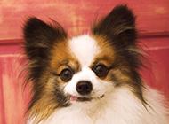 垂耳蝴蝶犬狗狗調皮圖片