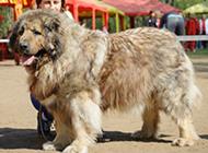 大型高加索犬圖片欣賞